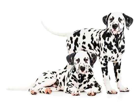 Race - Dalmatiner