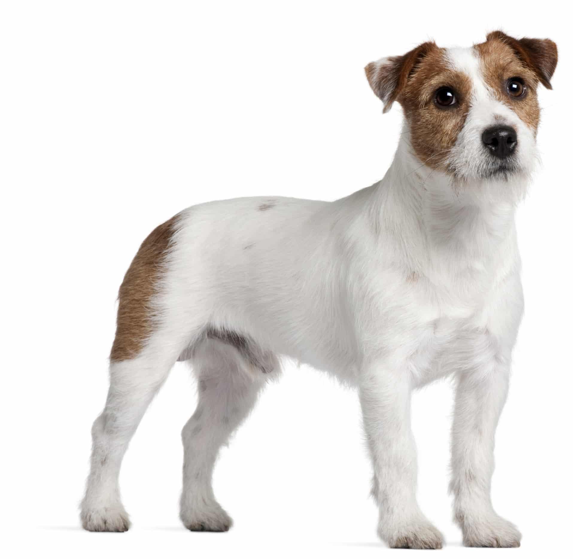 opdragelse af hund