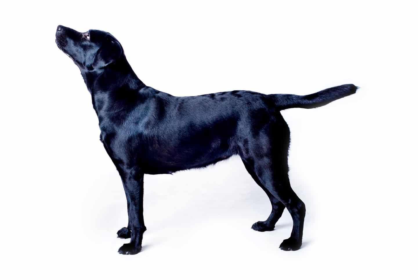 labrador vægtskema