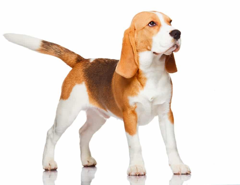 bagle hund
