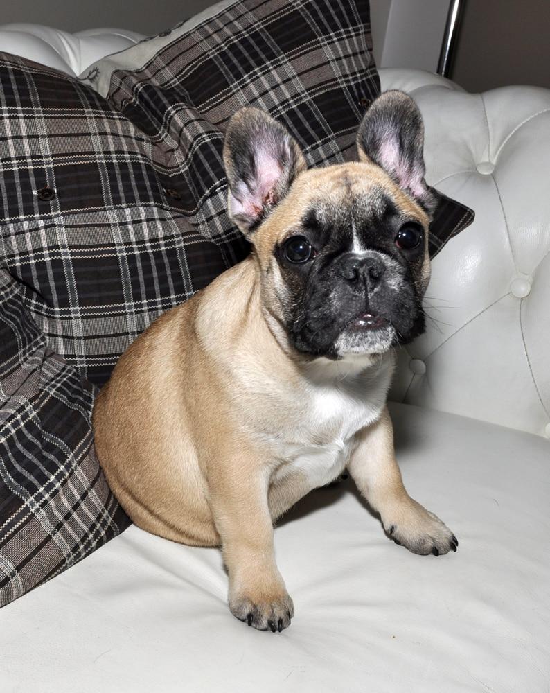 levealder fransk bulldog