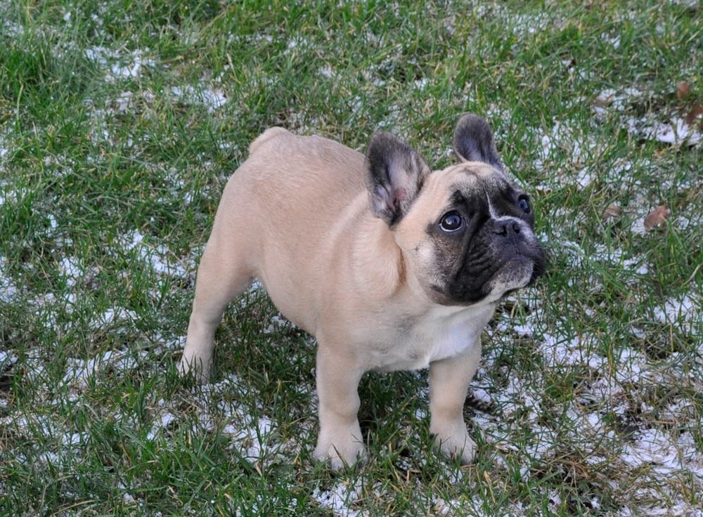 fransk bulldog navne