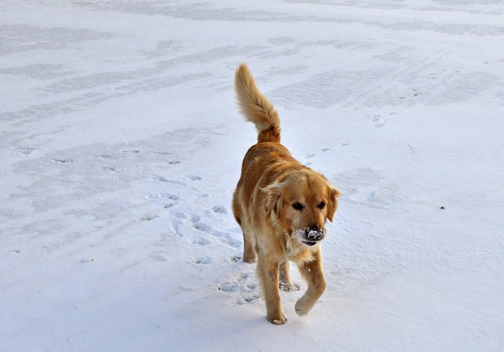 verdens mest nuttede hund